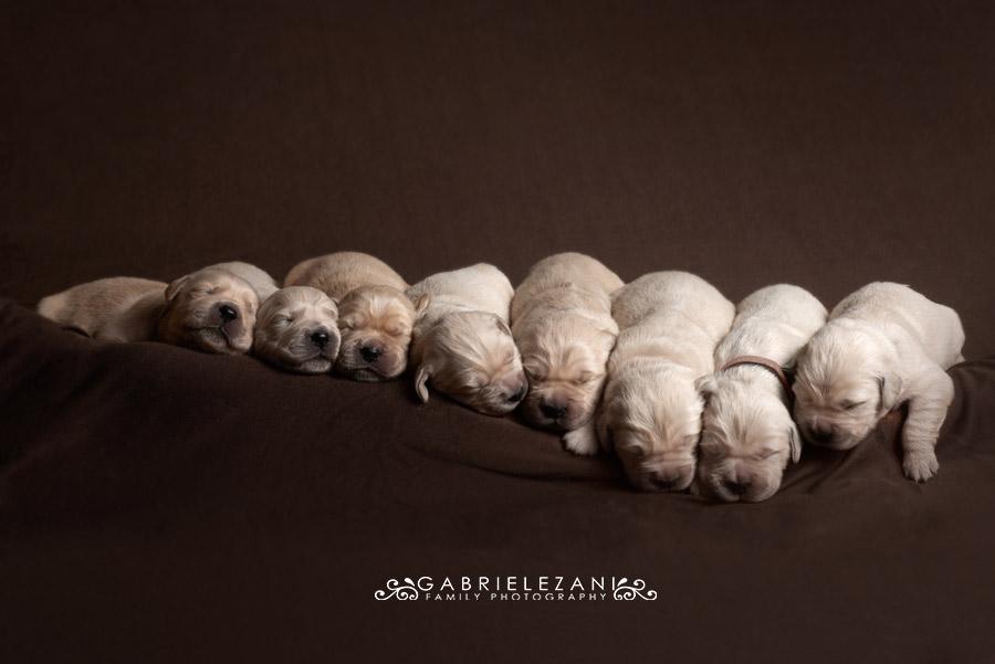 fotografo famiglie e animali otto cuccioli golden retriever che dormono