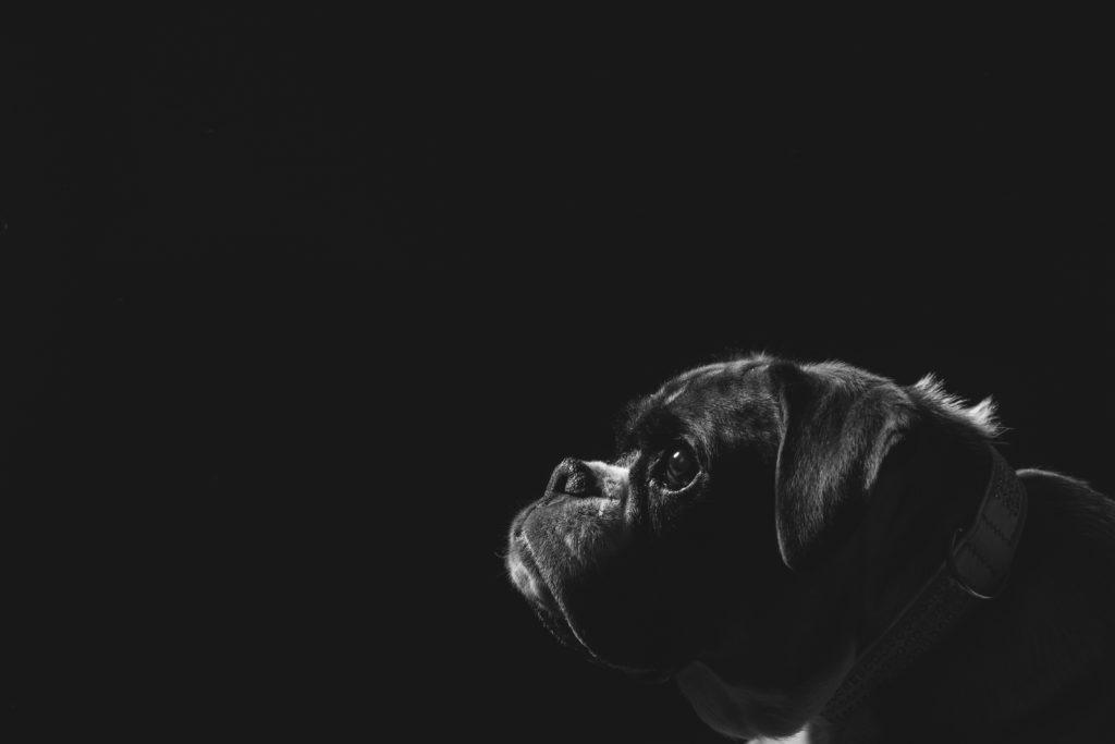 fotografo animali la spezia boxer
